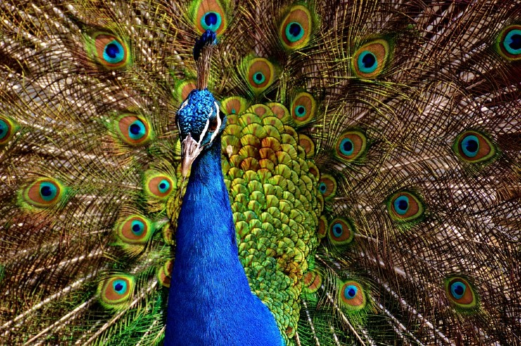 Good Morning Images With Peacock Feather
